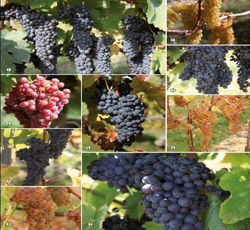 Zoom sur quelques cépages du domaine : 1 – Syrah, 2- Viognier, 3- Merlot, 4- Clairette rose, 5- Carignan, 6- Roussane, 7- Mourvèdre, 8- Marsanne et 9- Grenache noir.